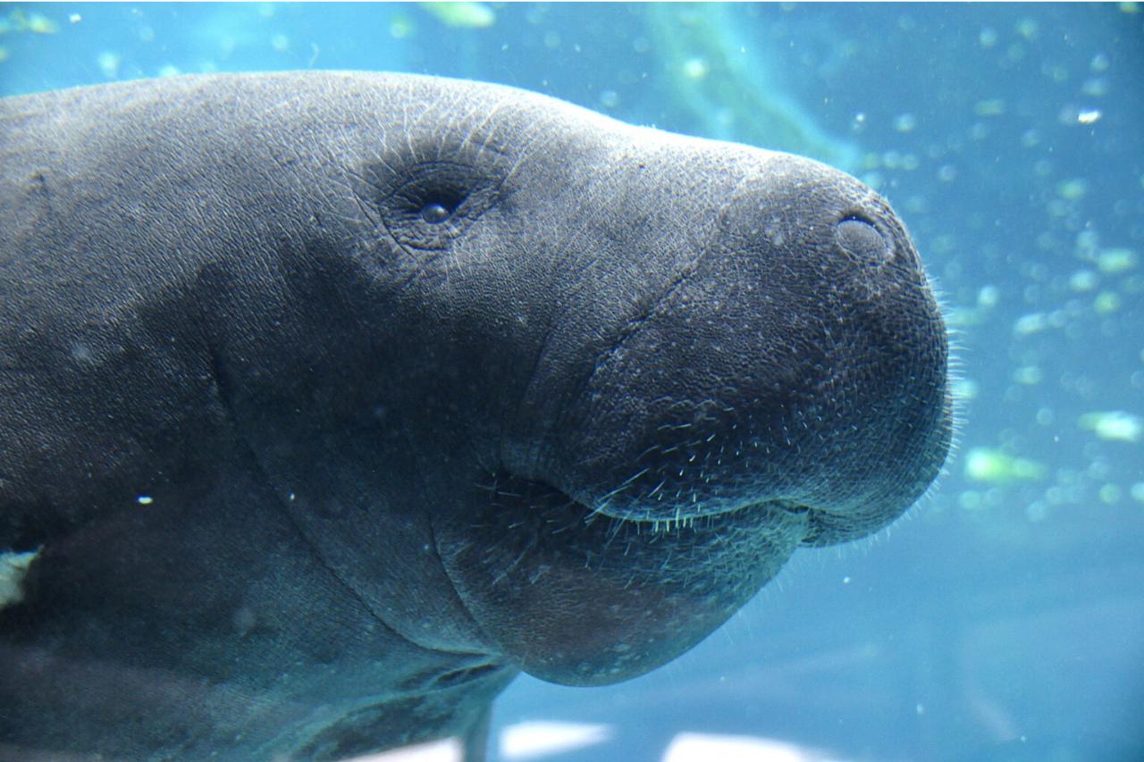 dugonghi
